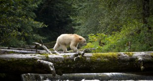 An adult Spirit Bear crossing fallen log over a stream in the Great Bear Rainforest in British Columbia, Canada.