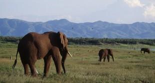 African bush elephants on Fothergill Island, Zimbabwe.