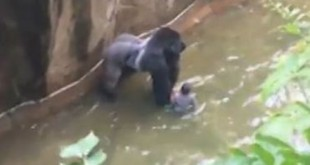 Video shot by a witness shows the 17-year-old gorilla handling the child and standing over him in the enclosure's moat.