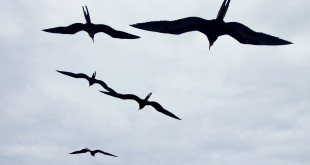 One of the frigatebirds that researchers tagged soared 40 miles over the Indian Ocean without a wing-flap. These birds were photographed in the Galapagos.