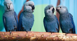 Spix's macaws (L-R) Felicitas, Frieda, Paula and Paul sit on a branch in their aviary in Germany. The species has not been seen in the wild for 15 years until the recent sighting in Brazil.