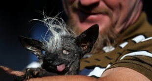 Jason Wurtz holds his dog SweePee Rambo after winning the 2016 World's Ugliest Dog contest at the Sonoma-Marin Fair on June 24 in Petaluma, Calif. Wurtz tells The Guardian there were no oozing sores on his prize-winning, unprepossessing pooch.