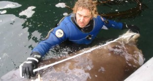 In 2004 Reid Brewer of the University of Alaska Southeast measured an unusual beaked whale that turned up dead in Alaska's Aleutian Islands. A tissue sample from the carcass later showed that the whale was one of the newly identified species.
