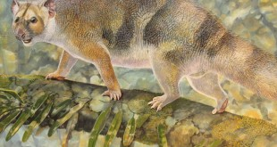 Paleoartist Peter Schouten's reconstruction of Microleo attenboroughi prowling along the branches of rain forest trees in search of prey.