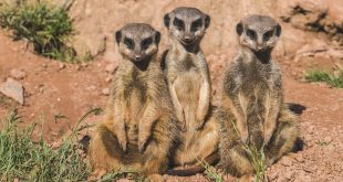 A new study finds meerkats are the most murderous mammals.