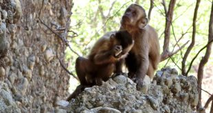 Capuchin monkeys use a detached flake as an active hammerstone, possibly in order to produce quartz dust.