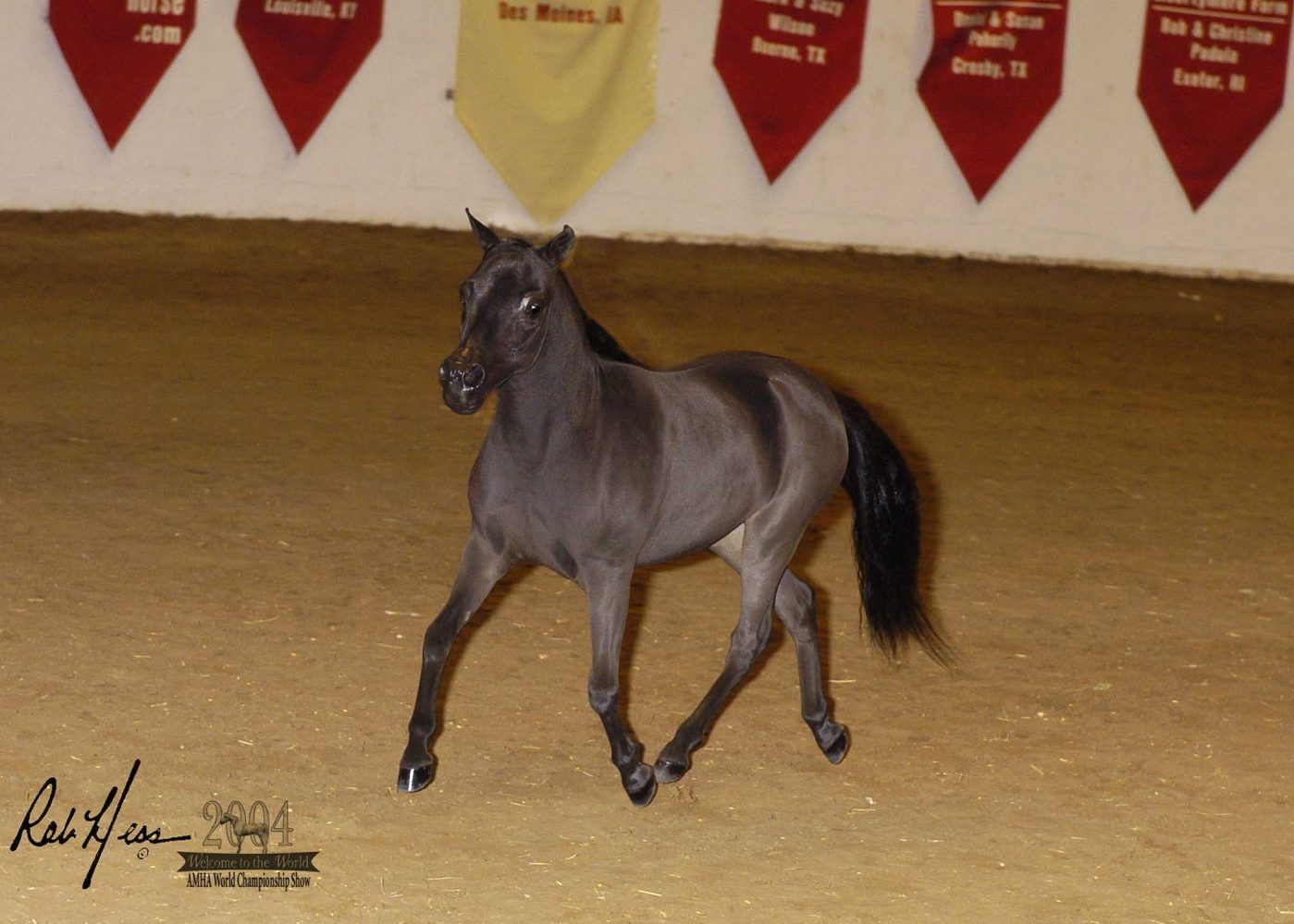 Competitor in a recent American Miniature Horse Association Competition
