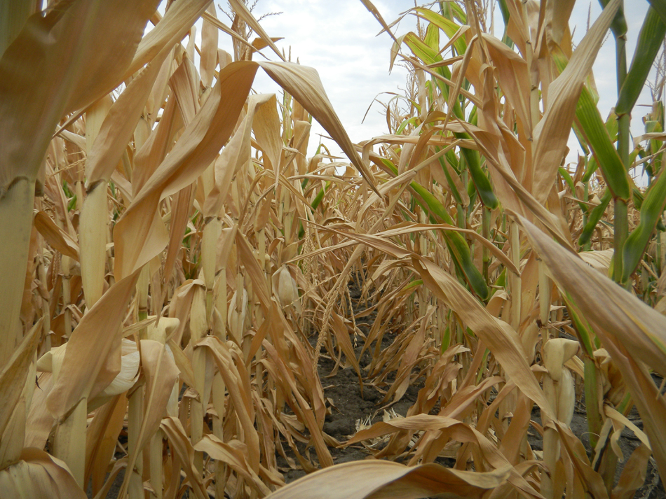 Drought affected farmers' crops nationwide, including those at this Missouri farm.  (photo by Donna Green-Townsend/WUFT-FM)