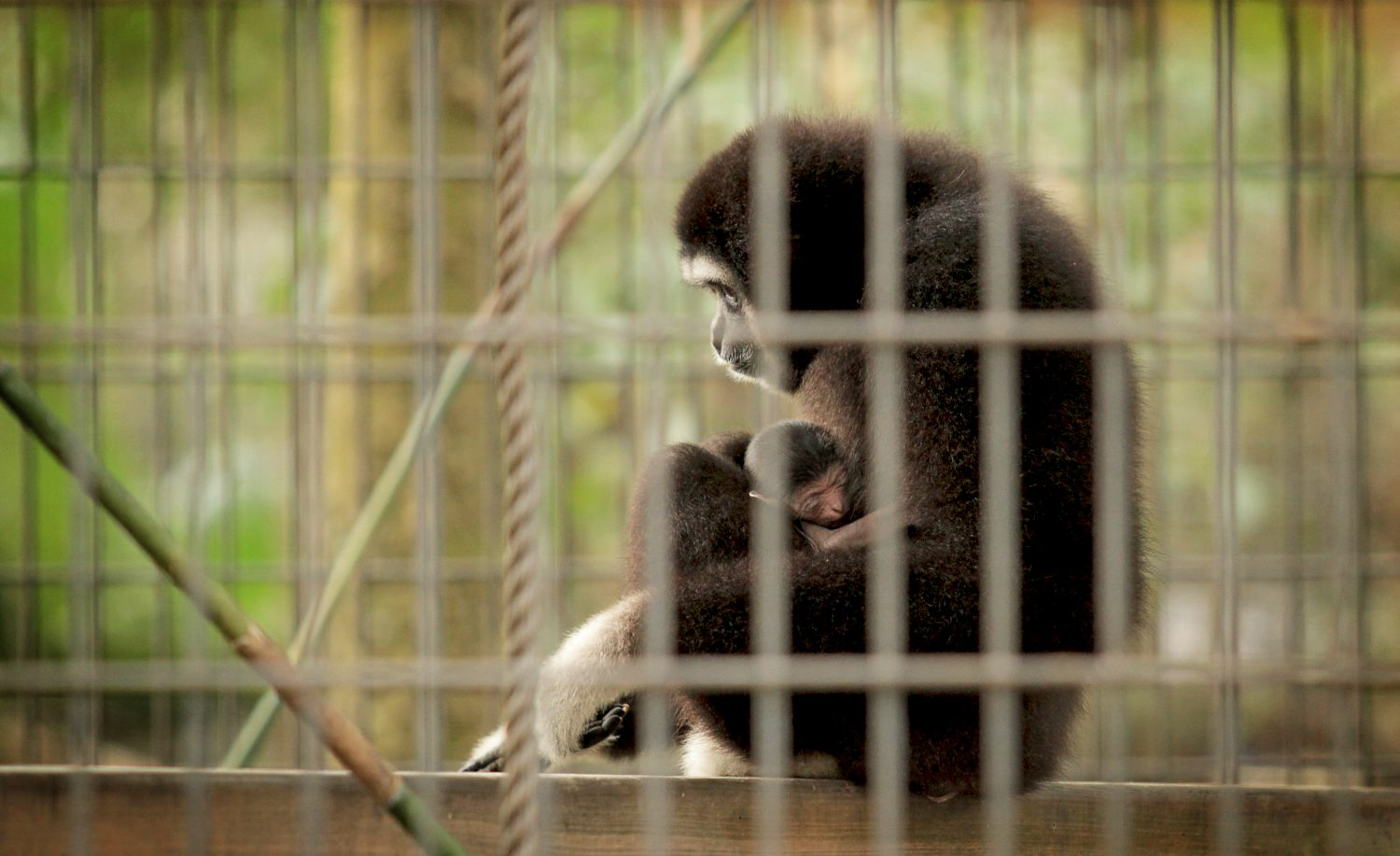 An adult gibbon holds the new gibbon baby. The Santa Fe College Teaching Zoo will be altering its Boo at the Zoo Halloween event to accommodate the new baby.