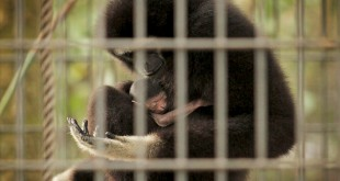 An adult gibbon holds the newest addition to the Santa Fe College Teaching Zoo. Zookeepers do not currently know the gender of the new baby, and probably won't know for about a year.