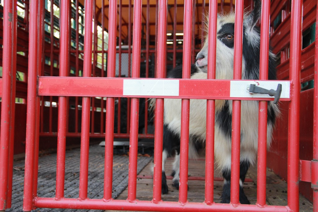 "Named ""Billy"" by Hall, he waits in a pen built by the Alachua County Sheriff's Office."