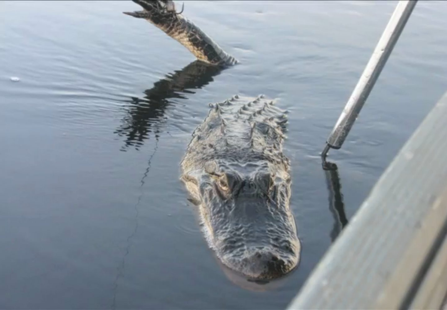 This is the face of the alligator that has been caught.  To get the gator to remain still, the hunters exhausted it.