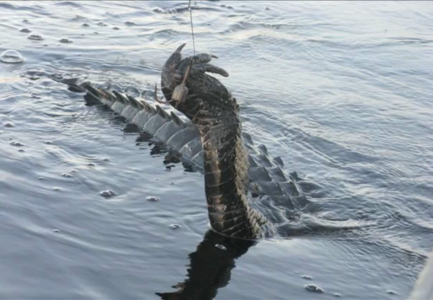 The gator has been caught, and the hook is in its leg.