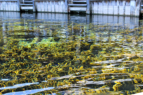 Some of the algae that has been growing in the springs, obscuring the view of the water.