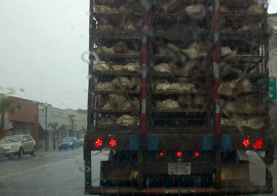 A truck carrying hundreds of live chickens got caught in the downpour in downtown Live Oak Thursday afternoon.