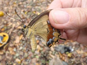 The Schaus butterfly...