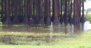 While swamps filled up early Thursday with gallons and gallons of rainwater, the flooding was largely contained in the Big Bend region compared to the deluge from Tropical Storm Debby in 2012.