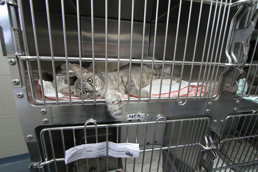 A cat holds its paw out at the Alachua County Animal Shelter on Thursday. The shelter reported a 60-percent euthanasia rate decrease from 2010 to 2012.