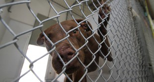 Hercules, a dog at the Alachua County Animal Shelter, hangs on his cage on Thursday. Just 94 Alachua County dogs and cats had been euthanized through the first quarter of 2013.