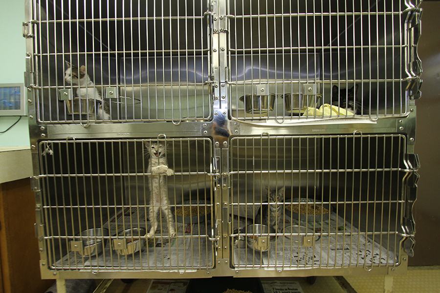 A cage full of four cats at the Lake City Humane Society on Thursday. More than 400 dogs and cats were adopted in Columbia County during the first quarter of 2013, about double the same period there in 2010.