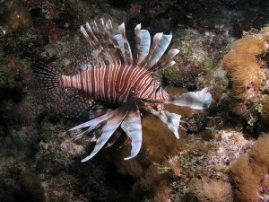 Indo-Pacific native lionfish continue to be one of Florida's most invasive species as they threaten reef habitats.