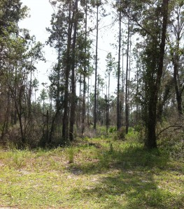 This is a section of Baldwin's slash pine forest restoration project.