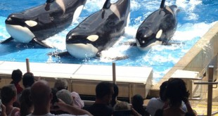 "Three killer whales jump on a raised platform during SeaWorld Orlando's ""One World"" show."