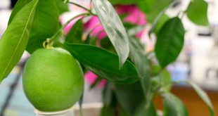 In the lab, researchers study the effects of the bacterium huanglongbing on citrus plants.
