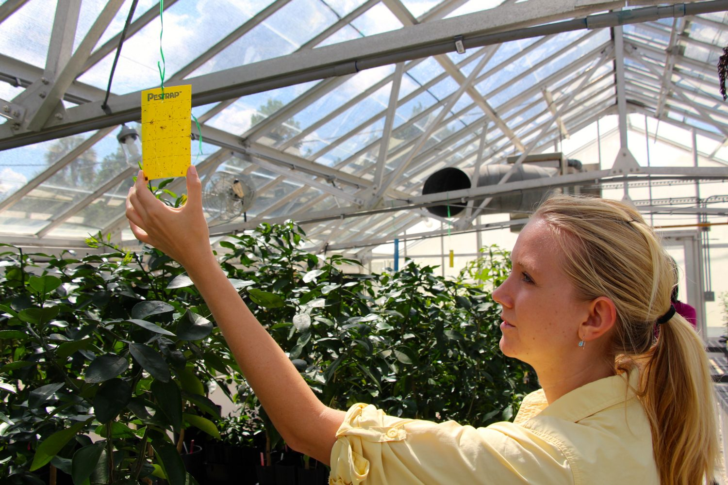 Two or three trees will be saved for further research after debugging in a greenhouse. There, the disease will be studied without the risk of spreading.