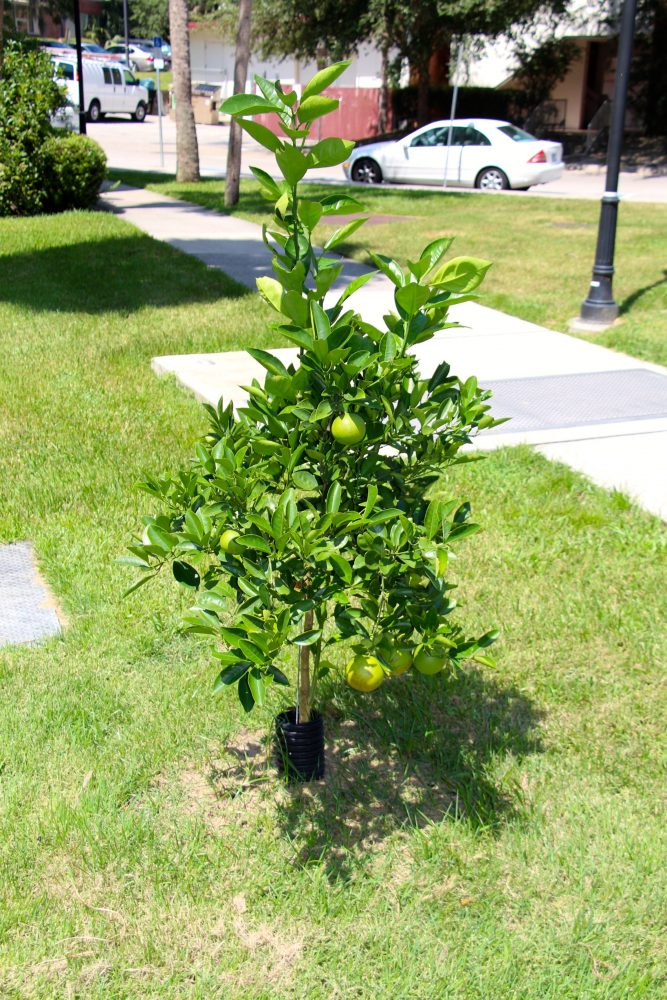 Some of the citrus trees being removed are very young. Nevertheless, every citrus tree on campus must be removed.