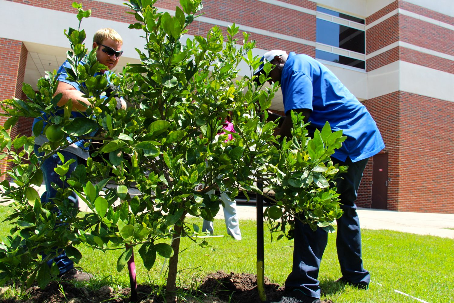 UF grounds workers will be working hard over the next two weeks to remove close to 150 citrus trees. Until Wednesday, the project was to last until January 1, 2014.