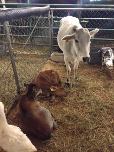 Alachua County fair cows