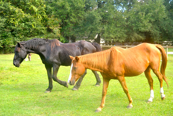 All the horses on Elliott's farm have been cared for and gentled down after being abused in the past. She got three of them from the Horse Protection Association of Florida and one was born on her property.