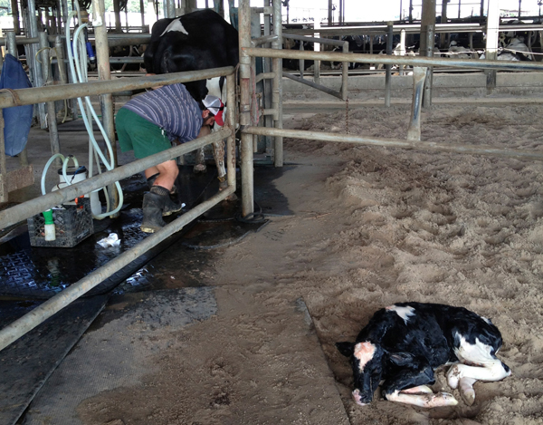 A newborn cow at North Florida Holsteins in Bell; this calf and others are often bred for optimized milk production.