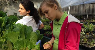 Buchholz High School students Jade Claar and Morgan Crocker collect dead leaves from the lettuce they grew as part of the Growing Education Training program.