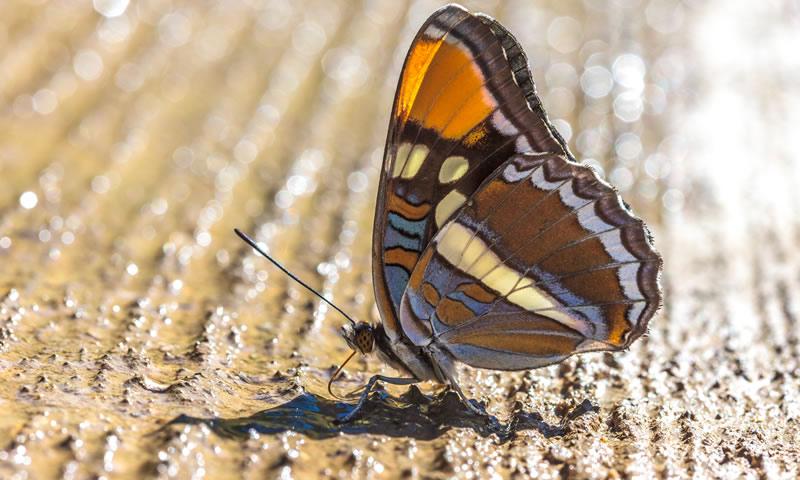 Butterflies Florida Museum Of Natural History
