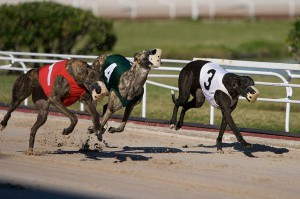 Animal activists in Florida are calling for measures to protect greyhounds in the racing industry. Greyhounds can race at speeds up to 45 mph.