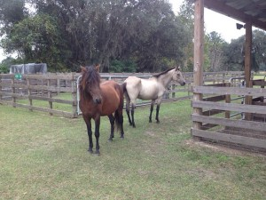 Both horses, who were suffering from extreme malnutrition, have been nursed back to health by the Alachua County Sheriff's Office. An auction will be held Saturday in hopes of finding the horses a new home.