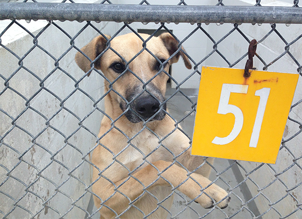 Nash, an 11-month-old German Shepard mix, awaits to be adopted from the Alachua County Animal Shelter on Friday afternoon. He was a stray found in Alachua on Oct. 11.