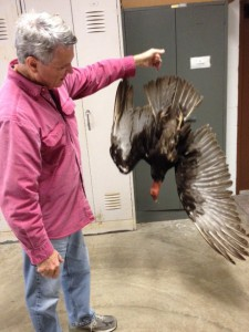 Wildlife Biologist Michael Avery holds a turkey vulture effigy. The vultures will abandon a roost if an effigy is hung upside down near it. The effigy is a taxidermic vulture. The birds have only left their roosts when real vultures are hung, plastic replicas have had little impact.