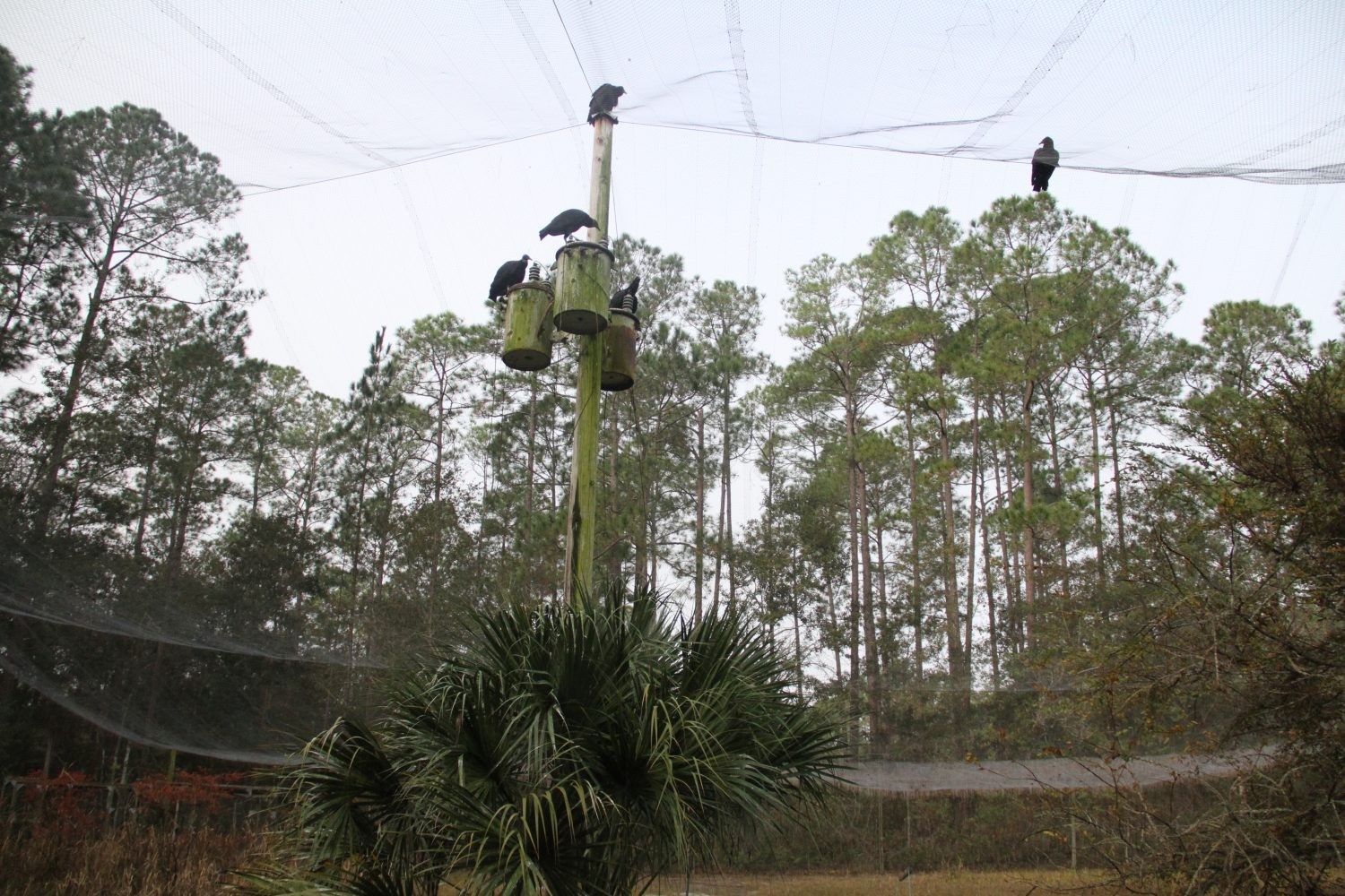 The National Wildlife Research Center Gainesville Field Station is a 26-acre site with eight enclosures and two ½ acre flight pens, one of which is used to study vultures. Around feeding time, vultures in the area will gather near the flight pen hoping to get some of the food.