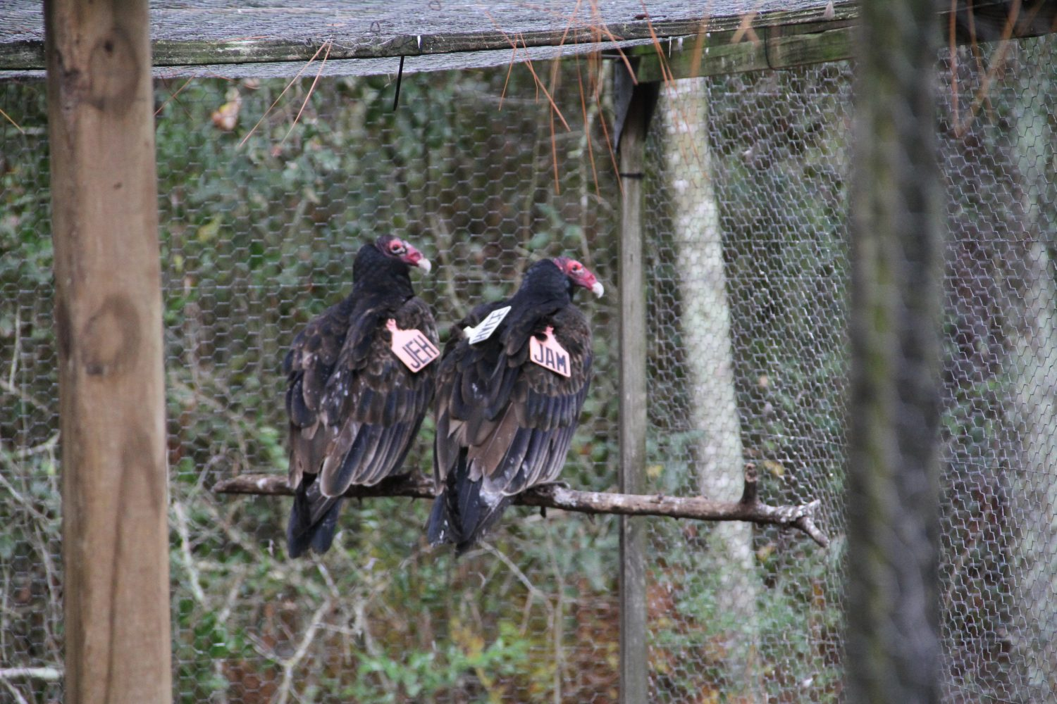 The National Wildlife Research Center in Gainesville puts tags on the vultures while being studied. The Center is studying their behavior and movement patterns.