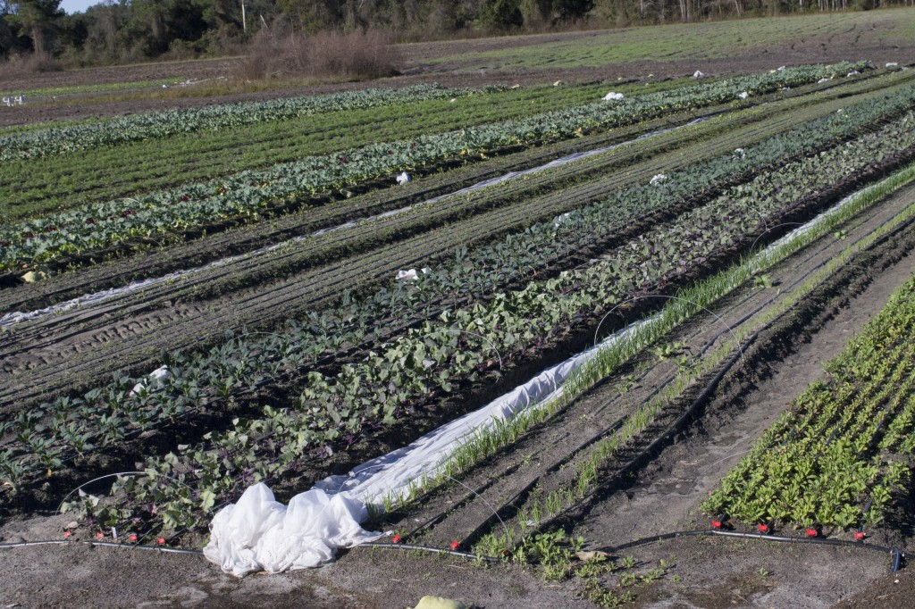 In effort to protect crops from damaging temperatures, farmers cover produce with frost cloths.