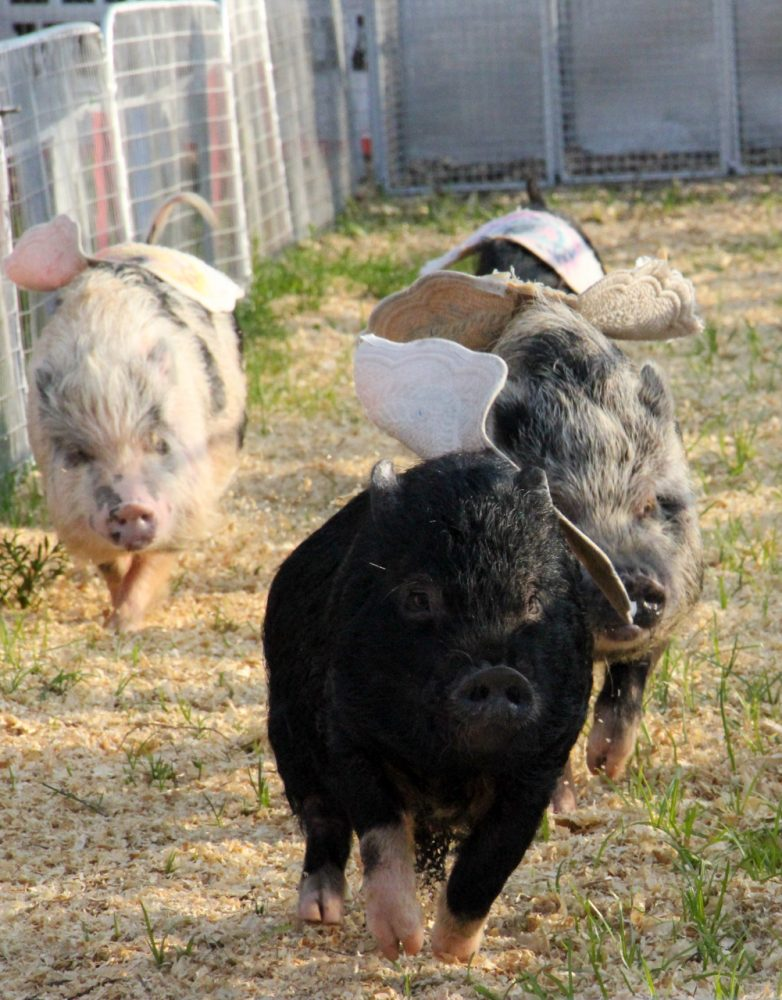 Miniature Vietnamese pot-bellied pigs race around the 150-feet track at the Florida Strawberry Festival on Sunday afternoon, Mar. 9, 2014.