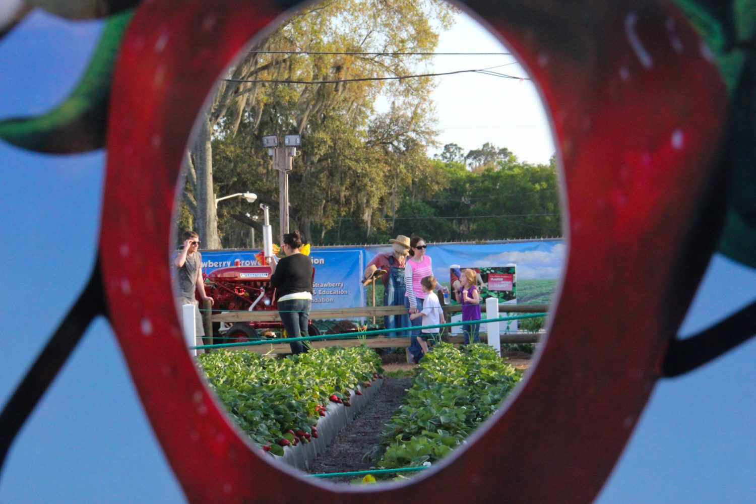 A family walks through a strawberry patch at the Florida Strawberry Festival on Sunday afternoon, Mar. 9, 2014.
