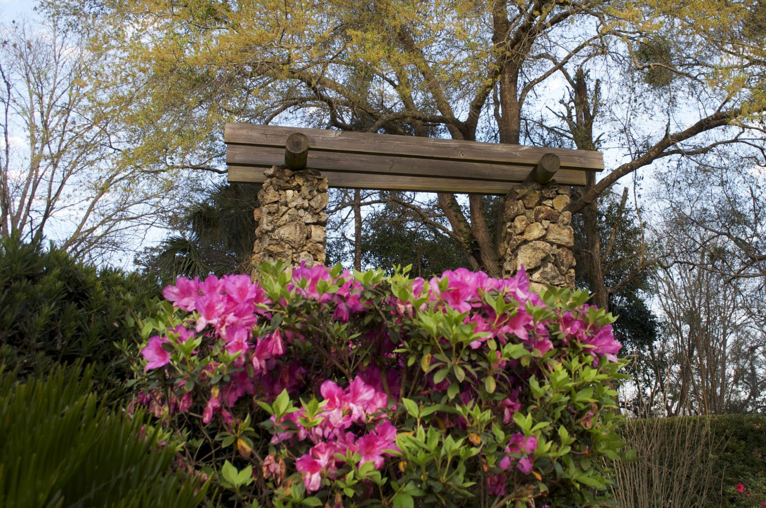 The Azalea Society of America congratulated Palatka, Fla., as an azalea city in Dec. 2006. Other certified cities reside in Texas, Mississippi, California, and Georgia. (Photo by Aubrey Stolzenberg)