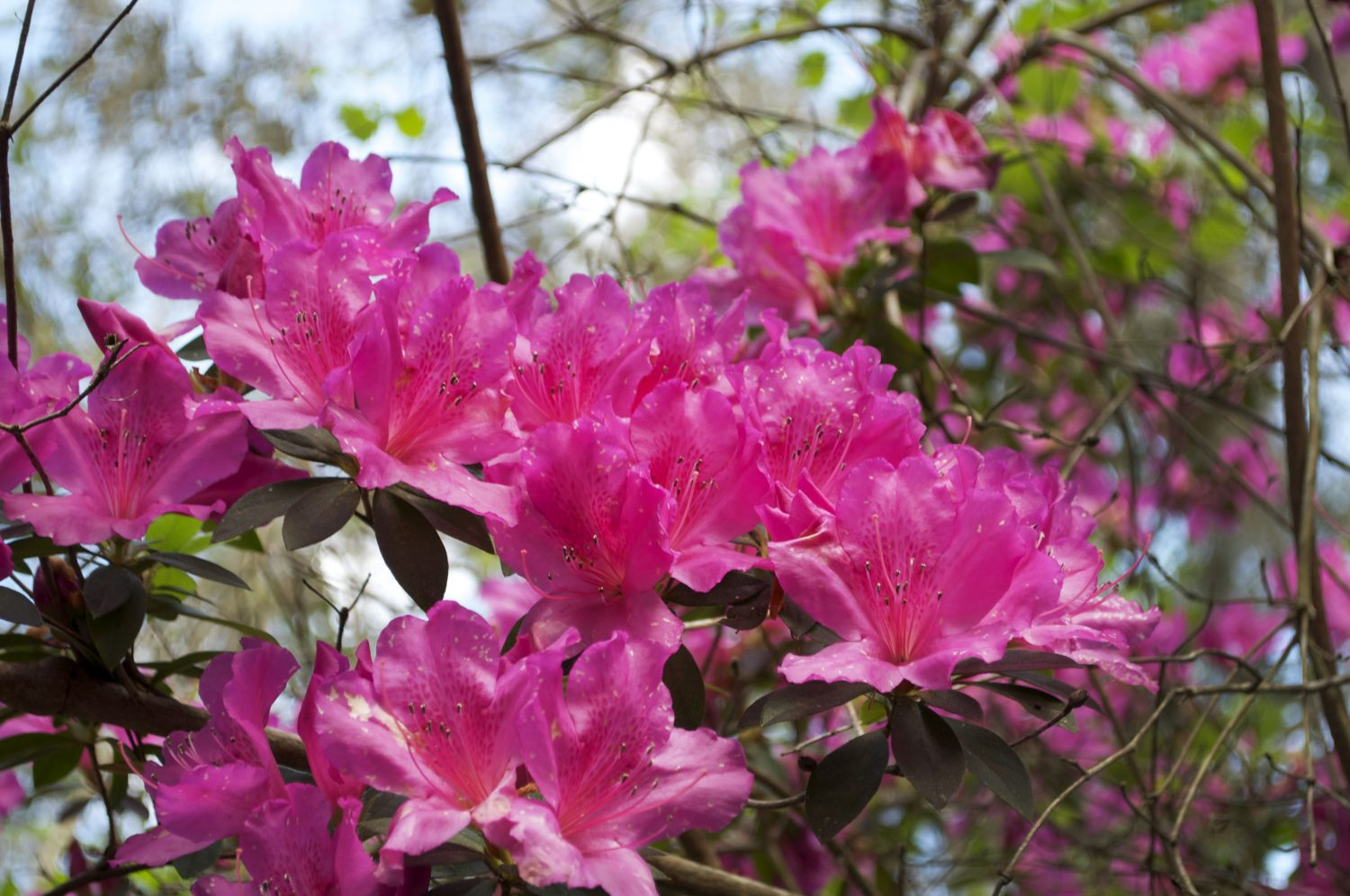 Tall azalea bushes line the trails troughout the ravine. The color of North American azaleas species range from white to purple, pink, red, organge or yellow. (Photo by Aubrey Stolzenberg)