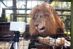 Magnificent Sabu looks at the TruVitals vital signs monitor after chief technology investigator prepares it for testing at an animal santuary in Florida on March 20, 2014. For reasons pertaining to the contract, the name and location of the sanctuary cannot be named.