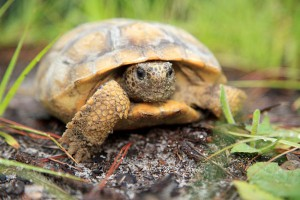 A Florida gopher tortoise in its natural habitat. A new app by the Florida Fish and Wildlife Conservation Commission will receive geographic locations of the threatened species through user-generated images.