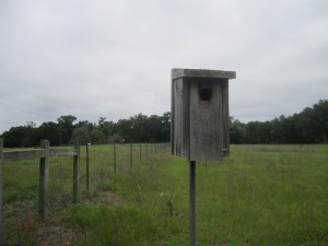 This previously installed nest box is home to a pair of Eastern Bluebirds. The nest box pictured was designed for this type of bird and is located at Prairie Creek Lodge, a preservation site of the Alachua Conservation Trust.